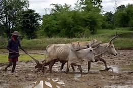 yoke plough